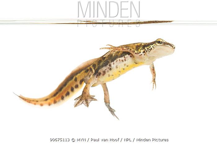 Palmate newt (Lissotriton helveticus) male, The Netherlands, March, Meetyourneighboursnet project  -  MYN/ Paul van Hoof/ npl