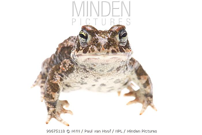 Natterjack toad (Epidalea calamita) The Netherlands, June Meetyourneighboursnet project  -  MYN/ Paul van Hoof/ npl