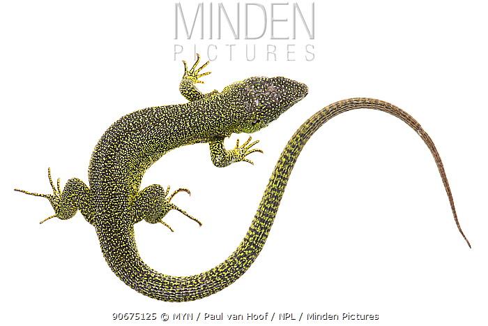 Western Green Lizard (Lacerta bilineata), France, April Meetyourneighboursnet project  -  MYN/ Paul van Hoof/ npl