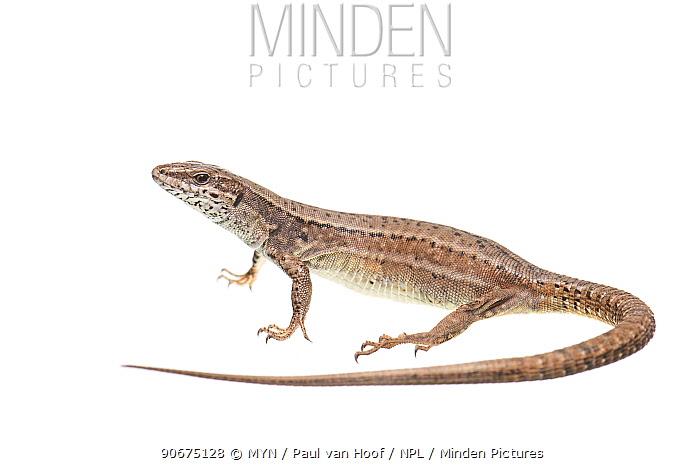 Common wall lizard (Podarcis muralis) female, France, April Meetyourneighboursnet project  -  MYN/ Paul van Hoof/ npl