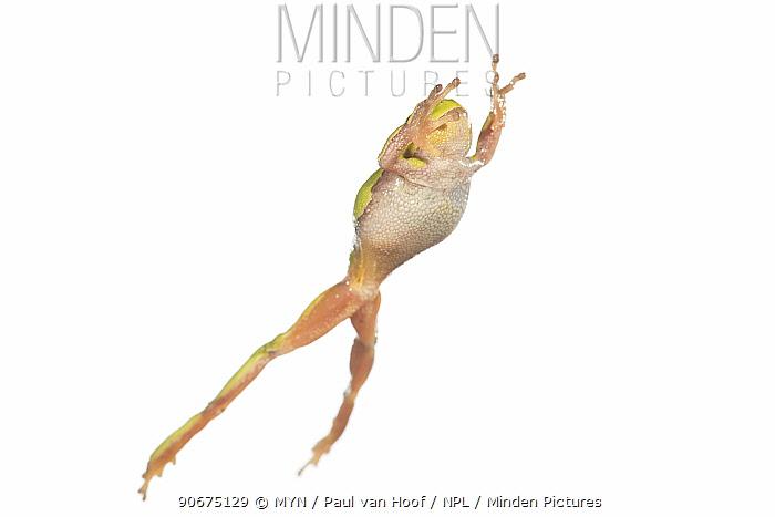 European tree frog (Hyla arborea) female leaping, France, April Meetyourneighboursnet project  -  MYN/ Paul van Hoof/ npl
