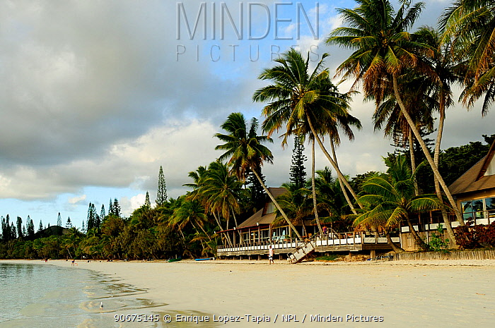 Coconut trees (Cocos nucifera) on beach with restaurant, Ile des Pins, Isle of Pines, New Caledonia, September 2008  -  Enrique Lopez Tapia/ npl