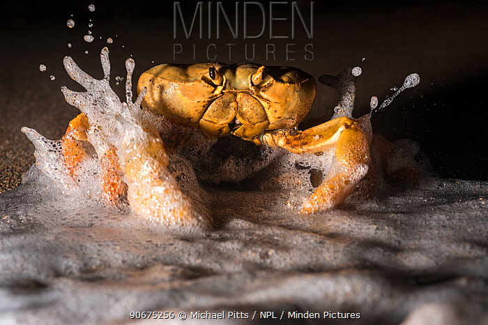 Land Crab (Johngarthia lagostoma) female spawning on surf line at night, North East Bay, Ascension Island March  -  Michael Pitts/ npl