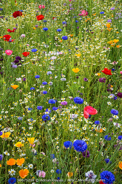 Wildflower meadow including Cornflowers (Centaurea cyanea) and Poppies (Papaver rhoeas) in botanic garden, Surrey, England, June  -  Adrian Davies/ npl