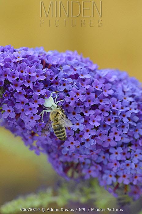 Crab Spider (Misumena vatia) with captured Honey Bee (Apis mellifera) on Buddleia (Buddleja davidii) Surrey, England, July  -  Adrian Davies/ npl