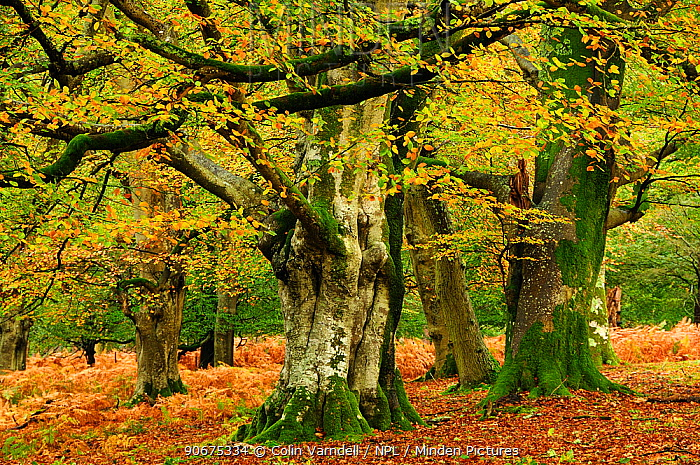 Mature Beech (Fagus sylvatica) trees in Mark Ash Wood, New Forest, Hampshire, UK, November  -  Colin Varndell/ npl