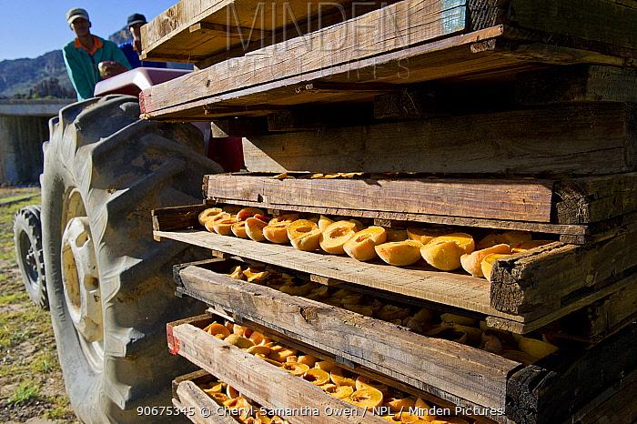 Halved Peaches (Prunus persica) transported by tractor, Suikerbossie farm, Koue Bokkeveld, Cedarberg region, Western Cape, South Africa February 2014  -  Cheryl-Samantha Owen/ npl
