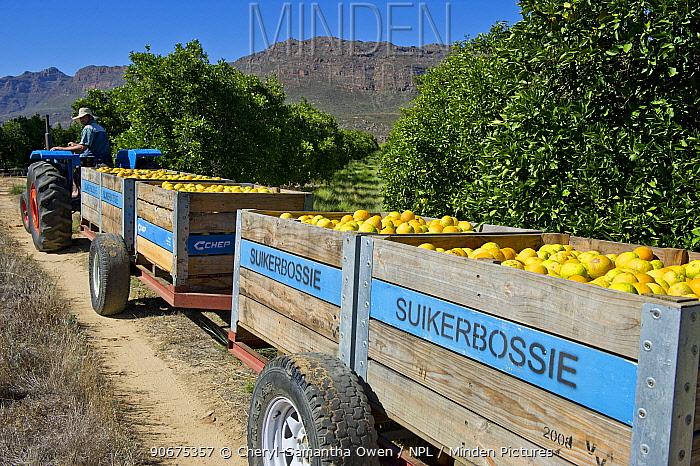 Trailers of harvested Oranges (Citrus sp) on Suikerbossie farm, Koue Bokkeveld, Cedarberg region, South Africa February 2014  -  Cheryl-Samantha Owen/ npl