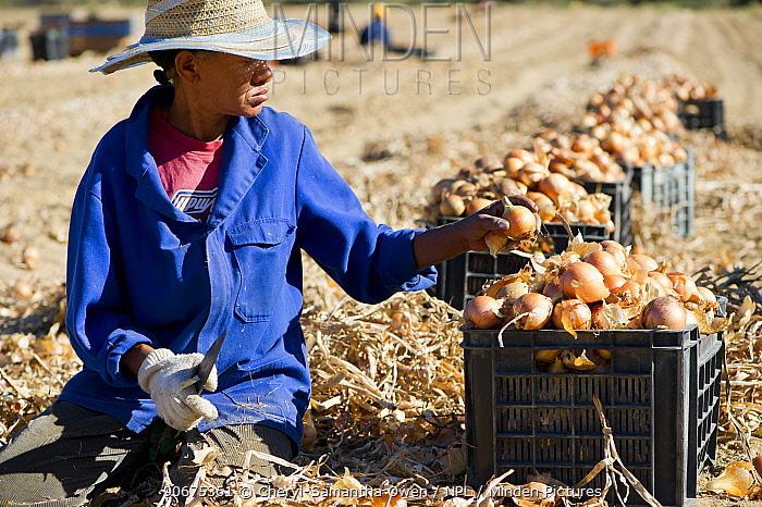 Farm workers harvesting Onions (Allium cepa), Suikerbossie farm, Koue Bokkeveld, Cedarberg region, South Africa February 2014  -  Cheryl-Samantha Owen/ npl