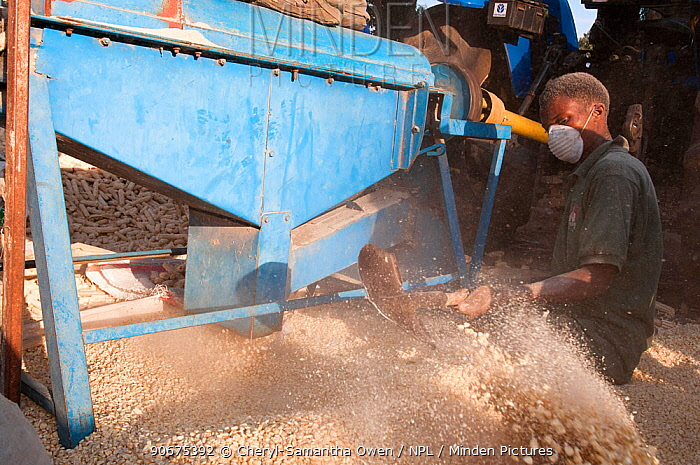 A man shoveling Maize (Zea mays) corn into a pile after the corn has been shelled (removed from the cob) by a machine Commercial farm, Tanzania, East Africa October 2011  -  Cheryl-Samantha Owen/ npl