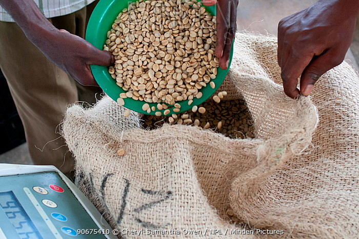Workers pouring and weighing Coffee (Coffea arabica) beans, Commercial coffee farm, Tanzania, East Africa  -  Cheryl-Samantha Owen/ npl