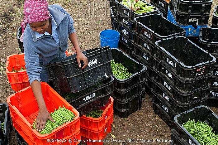 Woman packing Green beans (Phaseolus vulgaris) on a commercial farm, Tanzania, East Africa August 2011  -  Cheryl-Samantha Owen/ npl