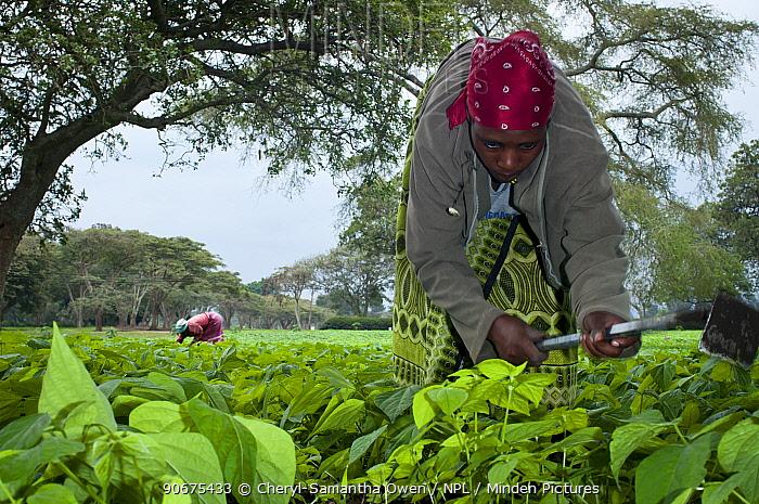 Women weeding in a Green bean (Phaseolus vulgaris) field on a commercial farm The women wear traditional clothing (kangas and kitenge) Tanzania, East Africa August 2011  -  Cheryl-Samantha Owen/ npl