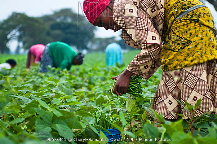 Women harvesting Green beans (Phaseolus vulgaris) on commercial bean farm The women wear traditional clothing (kangas and kitenge) Tanzania, East Africa August 2011  -  Cheryl-Samantha Owen/ npl