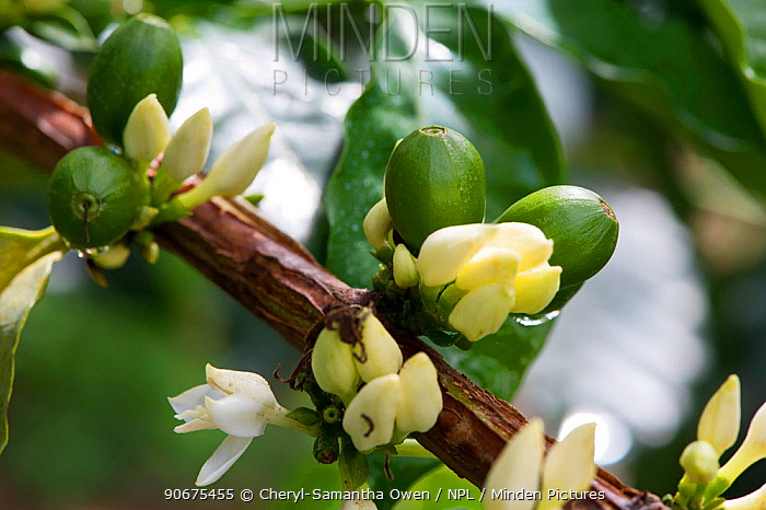 Green Coffee (Coffea arabica) berries, cherries Commercial coffee farm, Tanzania, East Africa  -  Cheryl-Samantha Owen/ npl