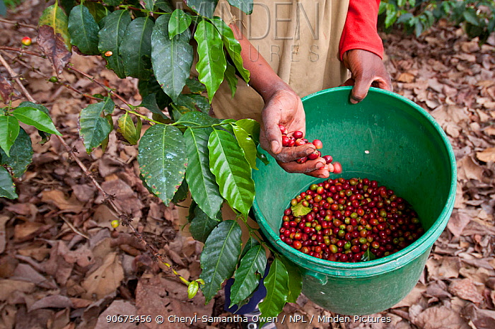 Woman harvesting Coffee (Coffea arabica) cherries, commercial coffee farm, Tanzania, East Africa  -  Cheryl-Samantha Owen/ npl
