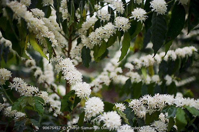 Coffee (Coffea arabica) shrubs in bud and flower Commercial coffee farm, Tanzania, East Africa  -  Cheryl-Samantha Owen/ npl
