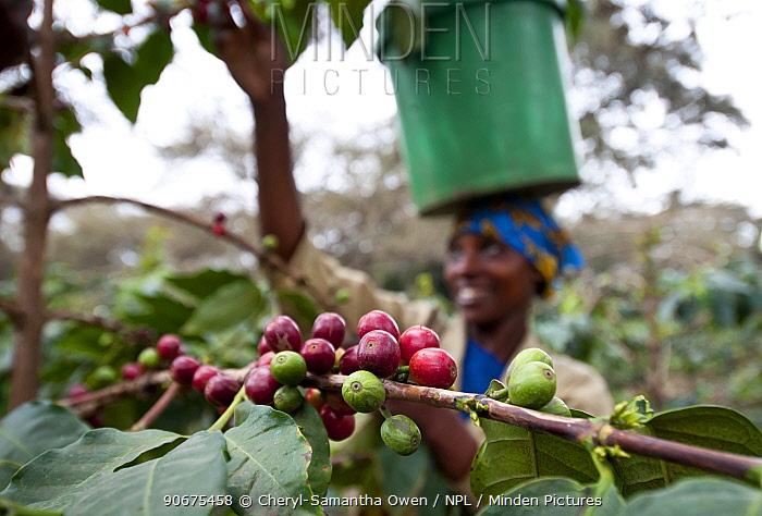 Woman harvesting Coffee (Coffea arabica) cherries, carrying bucket on her head Commercial coffee farm, Tanzania, East Africa October 2011  -  Cheryl-Samantha Owen/ npl