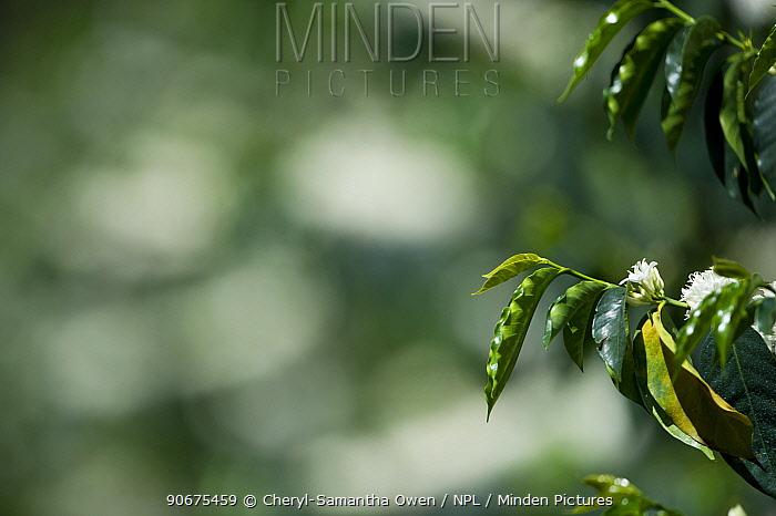 Coffee (Coffea arabica) shrub flowering Commercial coffee farm, Tanzania, East Africa  -  Cheryl-Samantha Owen/ npl