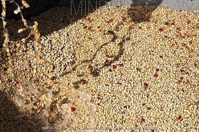 Coffee (Coffea arabica) beans pouring into fermentation tank Commercial coffee farm, Tanzania, East Africa  -  Cheryl-Samantha Owen/ npl