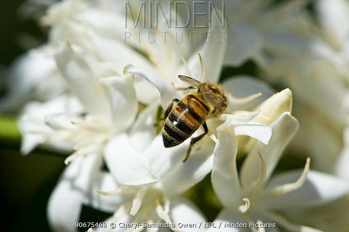 African bee (Apis mellifera scutellata) on flower of Coffee (Coffea arabica) shrub Commercial coffee farm, Tanzania, East Africa  -  Cheryl-Samantha Owen/ npl