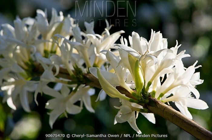 Coffee (Coffea arabica) flowers Commercial coffee farm, Tanzania, East Africa  -  Cheryl-Samantha Owen/ npl