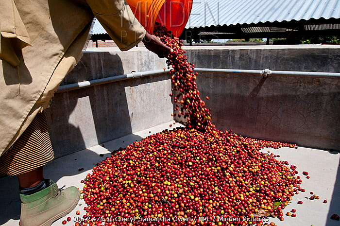 Worker pouring Coffee (Coffea arabica) cherries into pre-pulping tank Commercial coffee farm, Tanzania, East Africa  -  Cheryl-Samantha Owen/ npl