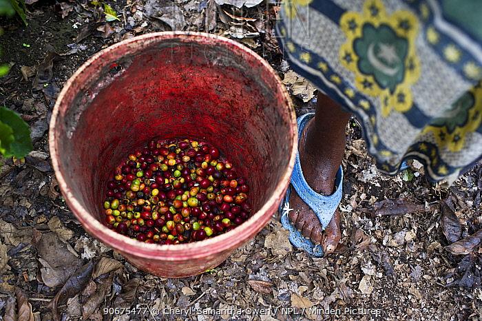 Woman stood with bucket of harvested Coffee (Coffea arabica) cherries on commercial coffee farm, Tanzania, East Africa  -  Cheryl-Samantha Owen/ npl