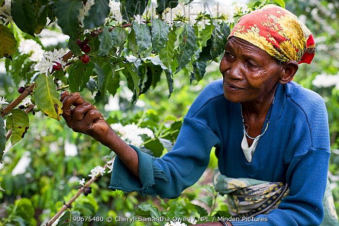 An elderly woman harvesting Coffee (Coffea arabica) cherries on a commercial coffee farm, Tanzania, East Africa November 2012  -  Cheryl-Samantha Owen/ npl