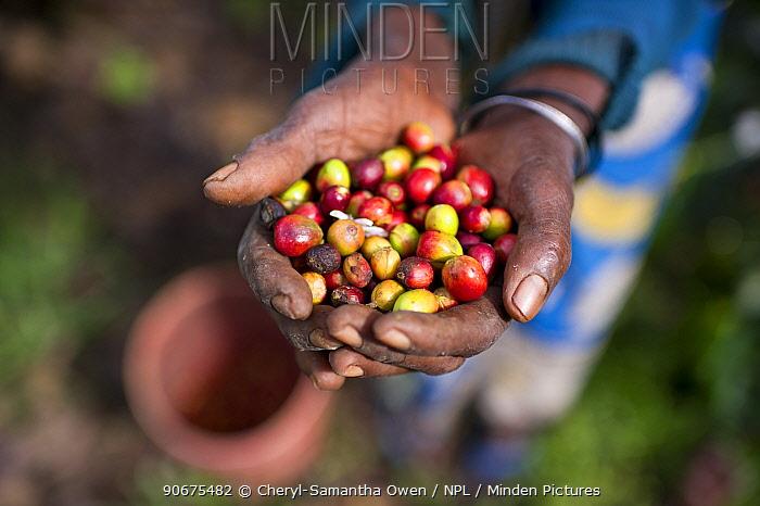 An elderly woman holding Coffee (Coffea arabica) cherries she has harvested Commercial coffee farm, Tanzania, East Africa  -  Cheryl-Samantha Owen/ npl