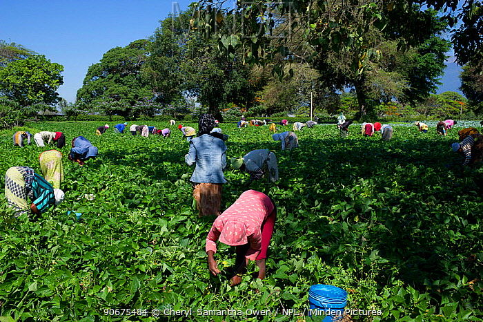 Women in field harvesting Green beans (Phaseolus vulgaris) on a commercial farm The women wear traditional clothing (kangas and kitenge) Tanzania, East Africa November 2012  -  Cheryl-Samantha Owen/ npl
