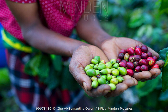 Woman holding harvested Coffee (Coffea arabica) cherries, commercial coffee farm, Tanzania, East Africa  -  Cheryl-Samantha Owen/ npl