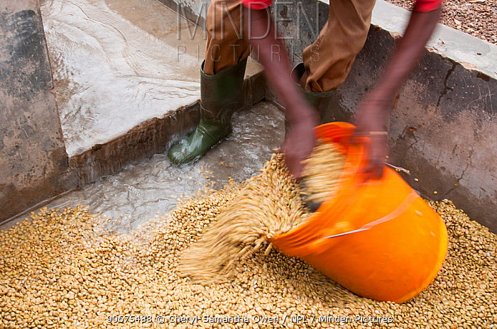Man collecting Coffee (Coffea arabica) beans after they have been washed, the mucilage (viscous substance) removed, the beans fermented and the light and heavy beans separated Commercial coffee farm, Tanzania, East Africa  -  Cheryl-Samantha Owen/ npl