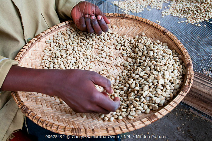 Dried parchment Coffee (Coffea arabica) beans, woman removing discoloured beans Commercial coffee farm, Tanzania, East Africa  -  Cheryl-Samantha Owen/ npl