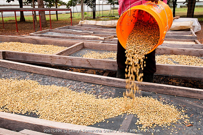 Coffee (Coffea arabica) beans drying on trays outside after fermentation, washing and sorting Commercial farm, Tanzania, East Africa  -  Cheryl-Samantha Owen/ npl