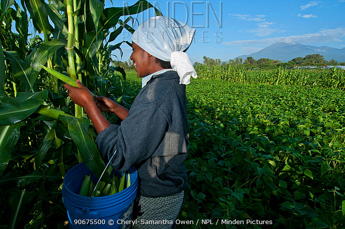 Woman harvesting baby Corn (Zea mays) on commercial farm, field of green beans and Mount Meru visible beyond Tanzania, East Africa December 2010  -  Cheryl-Samantha Owen/ npl