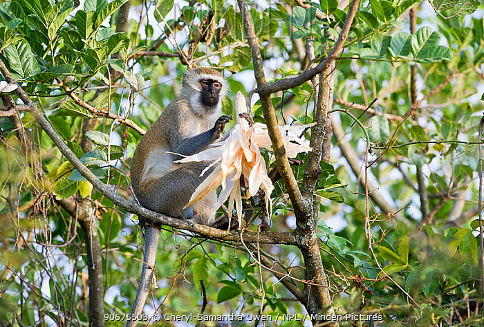 Vervet monkey (Chlorocebus pygerythrus) eating Maize (Zea mays) corn on the cob Commercial farm, Tanzania, East Africa Farm workers are employed to scare the monkeys away from the crops, but some monkeys are successful at grabbing a cob or two  -  Cheryl-Samantha Owen/ npl
