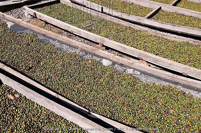 Buni Coffee (Coffea arabica) drying on trays outside Commercial farm, Tanzania, East Africa  -  Cheryl-Samantha Owen/ npl