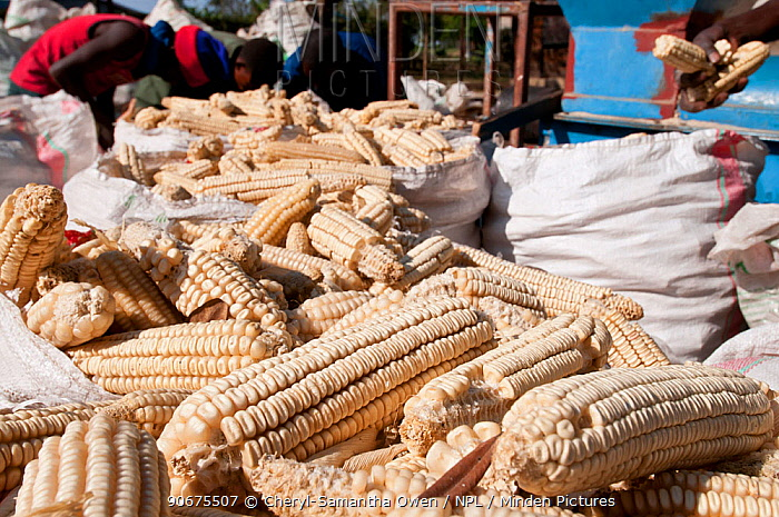 Bags of Maize (Zea mays) cobs ready for shelling Commercial maize farm, Tanzania, East Africa  -  Cheryl-Samantha Owen/ npl