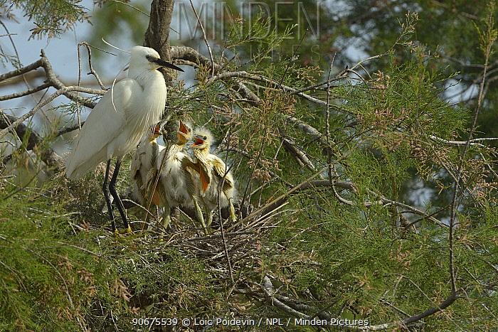 Little Egret (Egretta garzetta) chicks in nest begging for food, Pont de Gau, Camargue, France, April  -  Loic Poidevin/ NPL