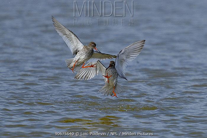 Common redshanks (Tringa totanus) fighting, Breton Marsh, France, April  -  Loic Poidevin/ NPL