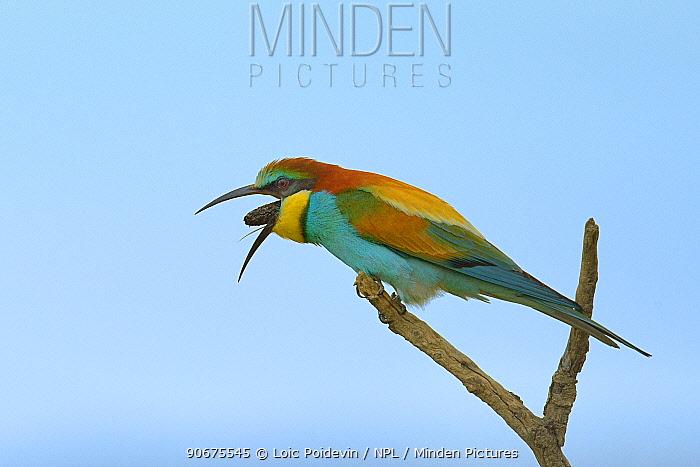 Common bee-eater (Merops apiaster) regurgitating pellet, Bouches du Rhone, France, May  -  Loic Poidevin/ NPL
