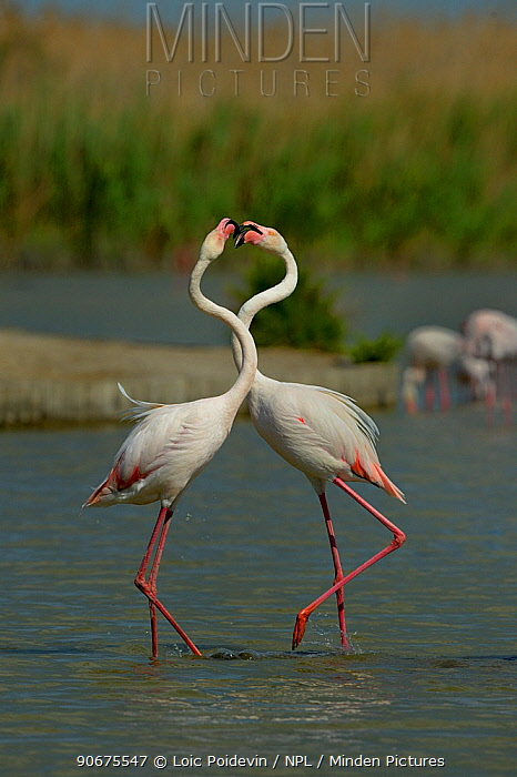 Greater Flamingos (Phoenicopterus roseus) courting, Camargue, France, May  -  Loic Poidevin/ NPL