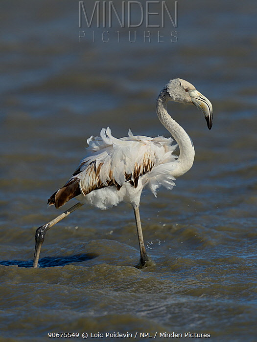 Greater Flamingo (Phoenicopterus roseus) juvenile with ruffled feathers, Camargue, France, May  -  Loic Poidevin/ NPL