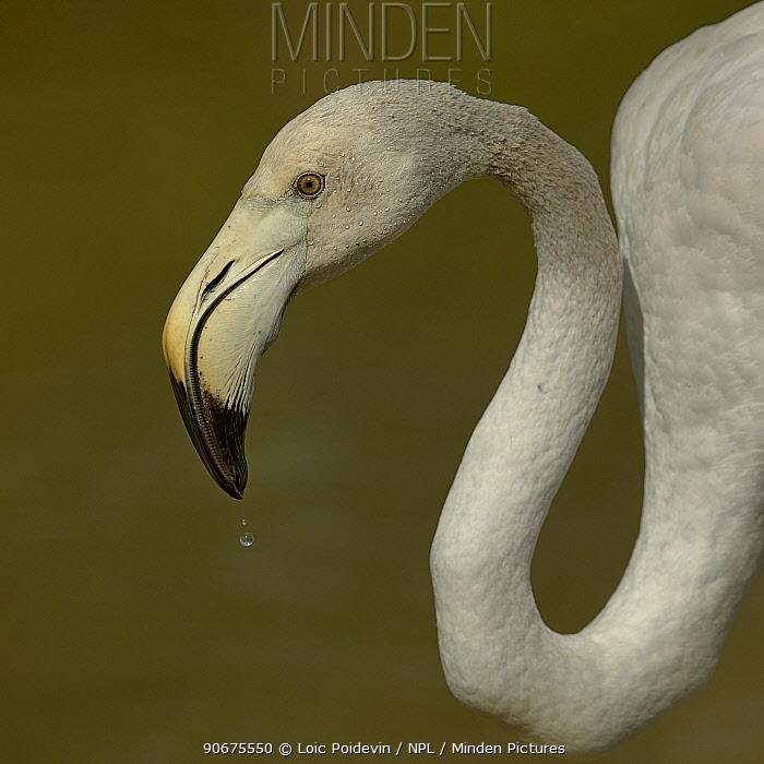 Greater Flamingo (Phoenicopterus roseus) juvenile, drinking, Camargue, France, May  -  Loic Poidevin/ NPL