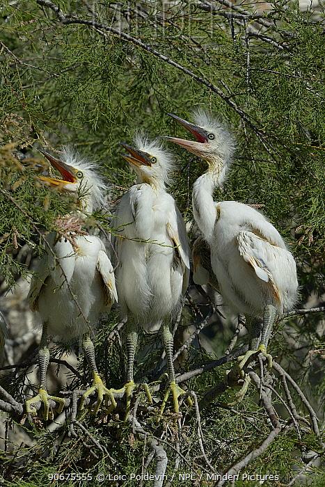 Little Egret (Egretta garzetta) chicks in nest, Pont de Gau, Camargue, France, April  -  Loic Poidevin/ NPL
