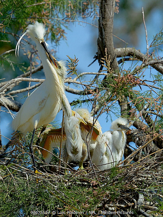 Little egret (Egretta garzetta) feeding chicks on nest, Pont de Gau, Camargue, France, April  -  Loic Poidevin/ NPL