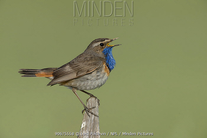 Bluethroat (Luscinia svecica) male singing on fence, Vendee, France, June  -  Loic Poidevin/ NPL