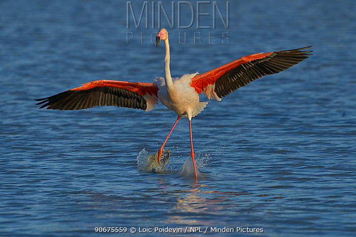 Greater Flamingo (Phoenicopterus roseus) adult landing on water, Camargue, France, May  -  Loic Poidevin/ NPL