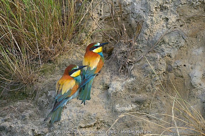 European Bee-eater (Merops apiaster) pair at nest entrance, Ariege, France, June  -  Loic Poidevin/ NPL